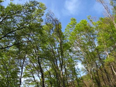 見上げるとぶな林3