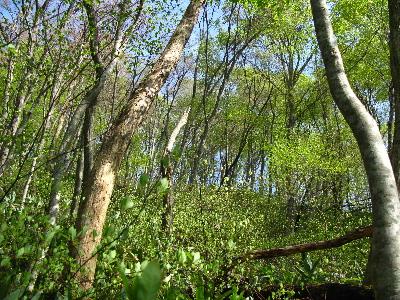 見上げるとぶな林1