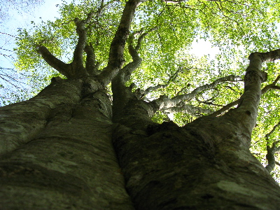 見上げるとぶな林2