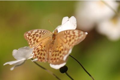 シュウメイギクに蝶