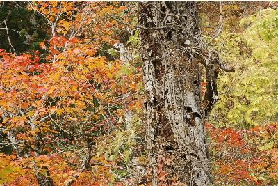 ブナの幹と紅葉1