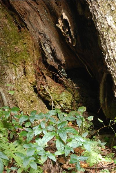 カツラの木、トチの木1