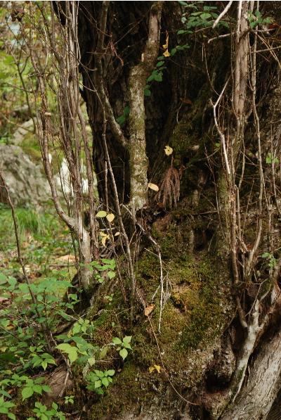 カツラの木、トチの木2