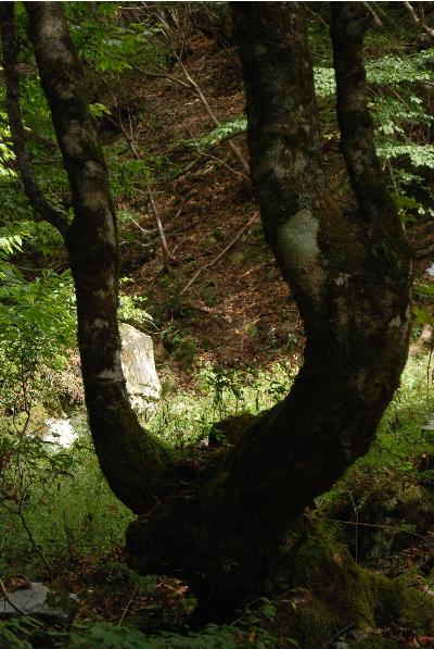 カツラの木、トチの木3
