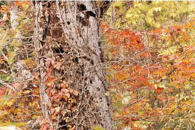 ブナの幹と紅葉2