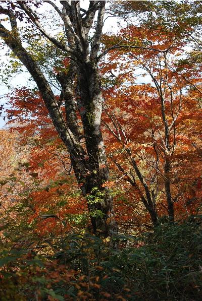 ブナの幹と紅葉3