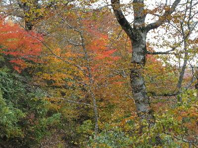 ブナの木、その周辺の紅葉
