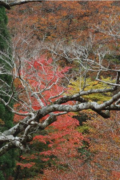 ブナの木、その周辺の紅葉3