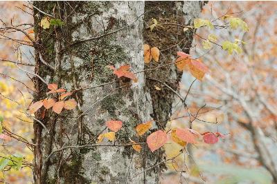 ブナの木、その周辺の紅葉2