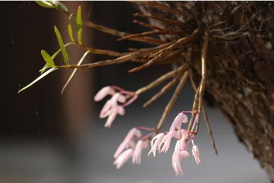 寄生する植物