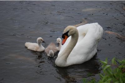 白鳥のお母さん1