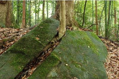 幹をだす雑木