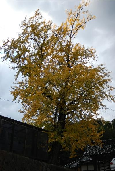 宝林寺の銀杏の木.jpg