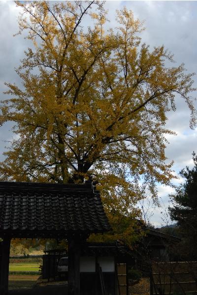 宝林寺の銀杏の木2.jpg