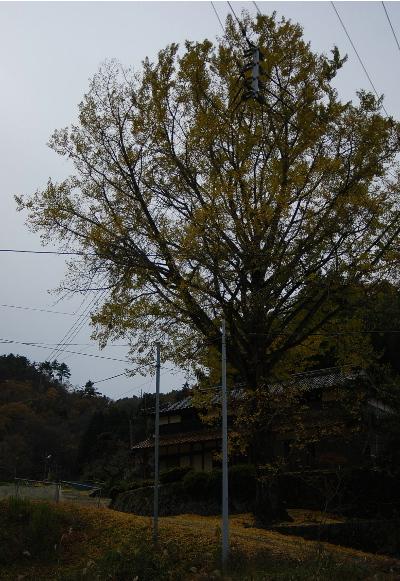 奥山の銀杏の木2.jpg