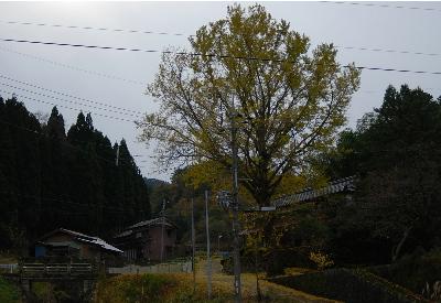 奥山の銀杏の木.jpg