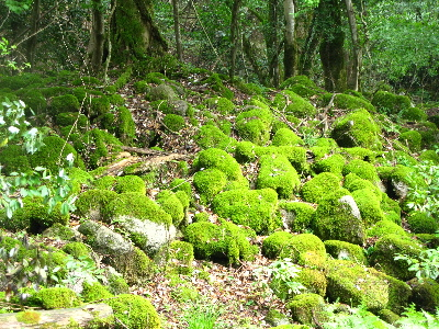 苔が密集した岩1