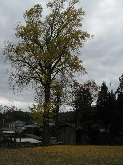 大きな銀杏の木.JPG