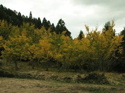 壱分区の銀杏の木.jpg