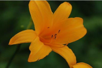 ユリ科の花