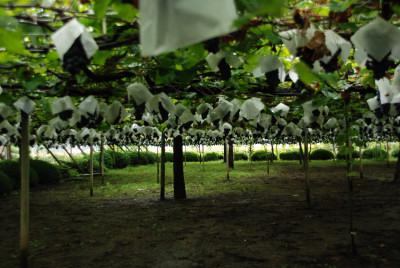grape239171.jpg