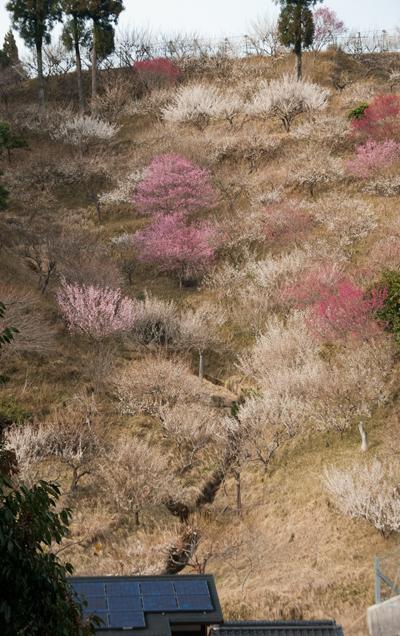 kobunoki26318b.jpg