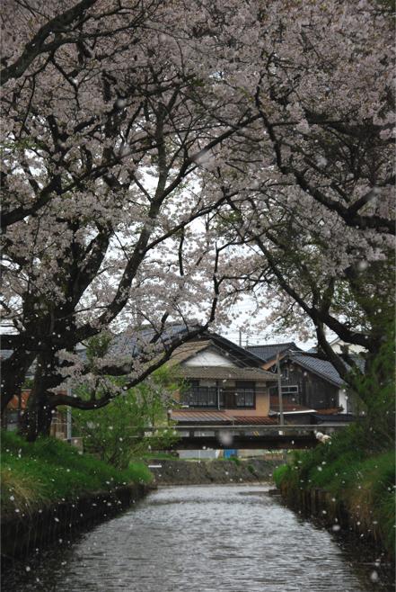 栃谷川の桜