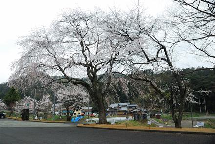 yoshidasakura25e.jpg