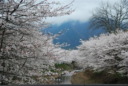 yoshidasakura25f.jpg